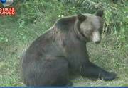 Mai multi vanatori au pus umarul la salvarea unui urs care a ramas prins intr-un gard de sarma ghimpata!
