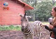 Zebrele de la Gradina Zoologica din Timisoara mor pe capete! Doua animale au murit in nici o luna de cand au fost aduse aici