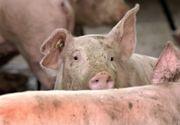 Vaslui: Măsuri pentru prevenirea apariţiei pestei porcine; vânzarea de porci în târguri, interzisă