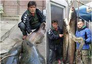 Captura uriasa pe Mures! Pescarul s-a chinuit mai bine de 45 de minute sa scoata din apa pestele monstru