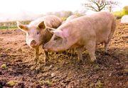 Alerta de pesta porcina in Romania. A fost reunit Comitetul National pentru Situatii Speciale de Urgenta