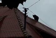 Urs de mari dimensiuni în centrul oraşului Sibiu; poliţişti, jandarmi şi pompieri intervin pentru prinderea animalului