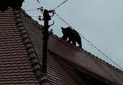 Noi detalii ies la iveala in cazul ursului ucis de oamenii din Sibiu. Vicepresedintele Asociatiei Generale a Vanatorilor povesteste ce s-a intamplat de fapt. Ministerul Mediului cere ancheta