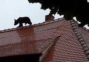 """Patru plangeri s-au inregistrat pana acum in cazul ursului impuscat in Sibiu. Procuror: """"Ne asteptam si la altele"""""""
