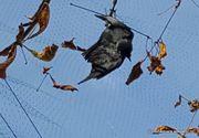 """Hunedoara: Ciori moarte, lasate sa atarne in copaci pe bulevard. """"Păsările moarte vor fi date jos în cel mai scurt timp"""" anunta Primaria"""