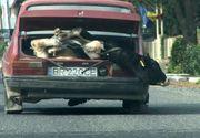 Samsari de animale, filmaţi în timp ce transportau o vacă legată fedeleş în portbagajul unei maşini Dacia 1310