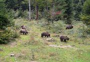 Locuitorii unui sat din Alba, terorizati de un urs ce le-a ucis sapte vaci si de o haita de lupi ce da tarcoale turmelor de oi