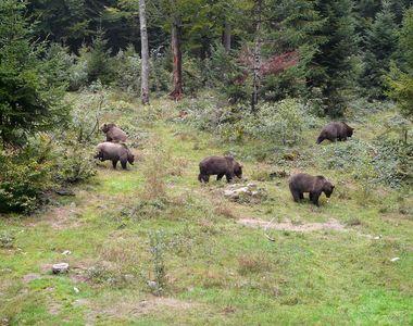 Locuitorii unui sat din Alba, terorizati de un urs ce le-a ucis sapte vaci si de o...