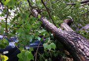 Arad: Şofer rănit grav după ce un copac rupt de vânt a căzut peste maşina lui în timp ce era în trafic