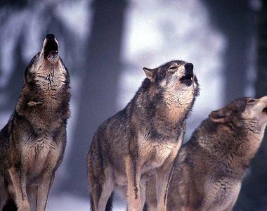Stirile KanalD de la ora 12:00 Terorizati de haitele de lupi. Oamenii din Suceava nu...