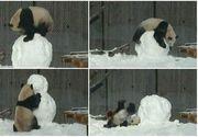 Ursul panda care a cucerit inimile tuturor! A primit cadou un om de zapada. Reactia lui e fabuloasa
