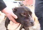 Pitbull-ul care a sfasiat cainii de la o stana a fost abandonat de stapan la un adapost. Tanarul nici macar nu si-a luat ramas bun de la animal
