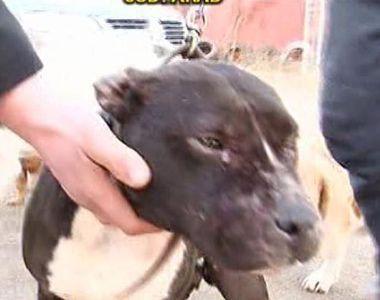 Pitbull-ul care a sfasiat cainii de la o stana a fost abandonat de stapan la un...