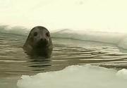 Focile de la Delfinariul din Constanta sunt extrem de fericite ca a venit iarna. Sunt singurele care se bucura de gheata si zapada