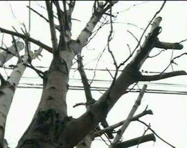 Noua atractie a Constantei sunt copacii fara crengi? Cum s-a ajuns in aceasta situatie...