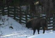 Doi zimbri au devenit vedete de cand au fost lasati in libertate! Ce s-a intamplat astazi la La Centrul Parcului Natural Vantori