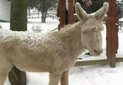 Doi magari albi cu ochii albastri sunt vedetele gradinii zoologice din Resita