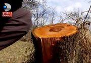 Hotii fac legea in padurile noastre! Ciopartesc copacii si lasa prapad in urma lor! Ce fac padurarii, in timp ce hotii de lemne fura tot