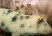 Porcul se ingrasa in Ajunul... Pastelui! Romanii prefera carnea de porc chiar si de sarbatorile pascale. Care e motivul