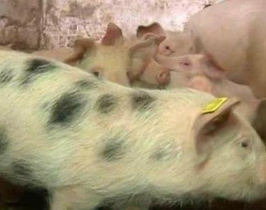 Porcul se ingrasa in Ajunul... Pastelui! Romanii prefera carnea de porc chiar si de...
