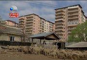 Ciobanii de la periferia Capitalei, maziliti de Primarie din cauza vecinilor care nu mai suporta mirosul