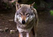 Lupul gasit in Parcul Nicolae Romanescu din Craiova este, de fapt, un caine lup cehoslovac. Proprietarul animalului este o tanara de 21 de ani