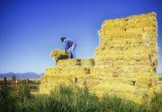 Fermierii se asteapta la recolte bune de cereale in acest an: 4-5 tone de grau si 2,5-3 tone de rapita la hectar
