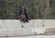 Panica in statiunea Cheia, dupa ce o ursoaica si doi pui au facut ravagii in gospodariile oamenilor