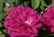 O familie din Olt a descoperit o afacere de succes : plantatia de trandafiri. Investitia a fost mica, dar rezultatul este infloritor!