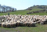 Oile de la o stana din Arges, omorate si tarate sute de metri de un urs. Pentru ca nu le-a putut manca pe toate, ursul a ingropat in pamant o oaie