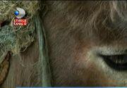 Imagini care iti frang inima, filmate in Tulcea. Un magarus este snopit in bataie de stapanul lui