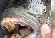 """Spaima in zona Dunarii. """"Spargatorul de nuci"""" a ajuns din Amazon in apele romanesti. Peste cu dinti de om ataca organele genitale ale barbatilor"""