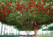Pomul care face rosii creste si in Romania. Traieste pana la 7 ani si produce anual sute de kilograme de rosii gustoase