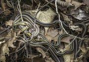 Alerta intr-o regiune din Romania: Este invazie de serpi. Oamenii sunt ingroziti