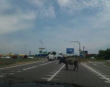 Fantastic. O vaca circula nestingherita pe Autostrada Soarelui - Soferii s-au blocat...