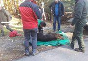 Un urs a fost lovit de o masina la Busteni. Autoritatile recomanda evitarea deplasarilor in padurile, animalul poate fi violent
