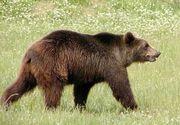Stana atacata de un urs in judetul Prahova. Mai multe animale au murit sau au disparut