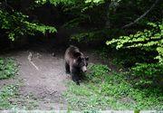 Cioban atacat de un urs in Vrancea; el a fost transportat in stare grava la spital