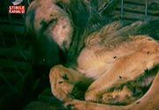 Iadul cainilor de la adapostul din Ovidiu. Animalele sufera, in timp ce patronii se plimba in masini de zeci de mii de euro