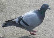 Acesta este porumbelul care valoreaza cat o masina de lux sau cat o garsoniera! Ce-l face special
