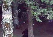 """Imagini ca in """"Cartea Junglei"""" cu ursii gunoieri din Brasov. La Gura Diham, mamiferele stau la poza si se scarpina pe spate precum ursul Baloo din filmul copilariei noastre! Video genial!"""