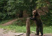 """Ministrul Mediului a anuntat ca va emite un ordin pentru uciderea a peste 140 de ursi: """"Nu renunt indiferent de cate mitiguri vor fi"""""""