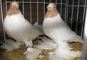 Un sucevean a reusit sa vanda un porumbel cu 500.000 de euro. Ce are atat de special pasarea