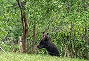 Imagini nebune cu un urs prins in capcana. Animalul a fost prins intr-un gard de sarma
