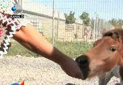 Operatie, in premiera in Romania. Afla povestea emotionanta a poneiului care a fost salvat de la moarte de medicii romani