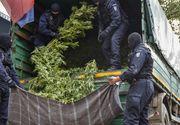 Captura record de cannabis intr-un sat din Mehedinti! Procurorii DIICOT au avut nevoie de un camion pentru a cara marfa