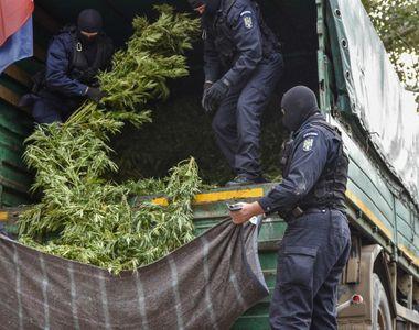 Politistii din Arad care cultivau cannabis foloseau o drona pentru a urmari plantatia...
