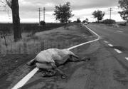 Terifiant! Cadavrul unui cal, lovit de o masina, a fost abandonat pe marginea drumului