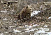 Stare de alerta in comunele Gura Foii si Crandurile din Dambovita! Gospodariile satenilor au fost atacate de ursul care ii terorizeaza de mai bine de o saptamana