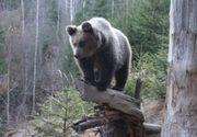 Alerta in Brasov: Un tanar a fost ranit de un urs